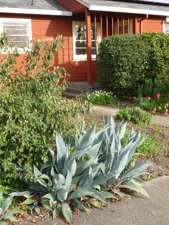 Succulent garden, Santa Rosa California