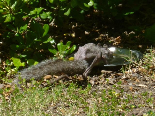14 April 2015 Scrawny the Squirrel